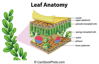 Leaf anatomy - Illustration of a leaf anatomy on a white...