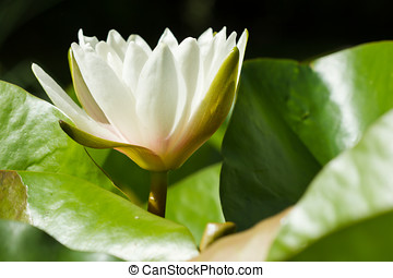 Water Lily, Nenuphar growing in a pond