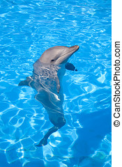 Bottlenose Dolphin posing with its head above water