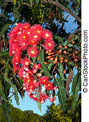 Red Gum Tree Flowers - a mass of red gum tree frlowers with...