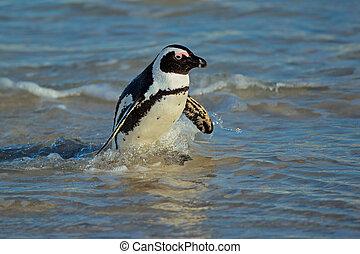 African penguin (Spheniscus demersus) in shallow water,...
