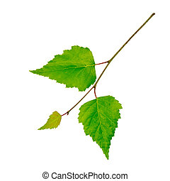 Birch twig with green leaves isolated on white background