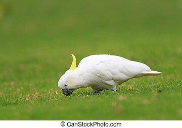 Sulphur Crested Cockatoo Cacatua galerita in Australia