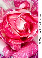 Candy Stripe Rose - closeup of a pink and white candy...