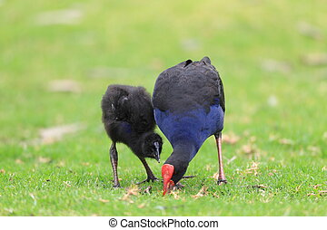 Purple Swamphen (Porphyrio porphyrio) in Royal N.P,...