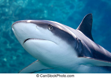 Grey whaler Shark - a grey reef, or whaler shark, swimming...