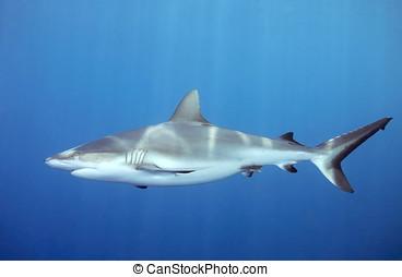 水中, サメ, 水泳