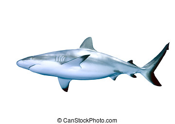 Shark - Grey Reef Shark isolated on white background