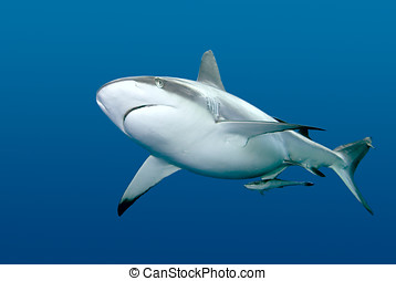 Shark with Remora swimming underwater - a grey reef, or...