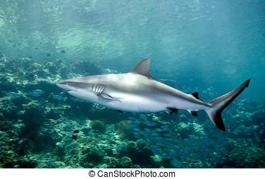 鯊魚, 游泳, 水下