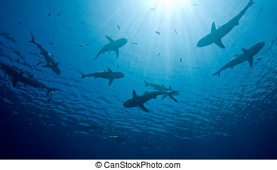 Sharks - a school of ten sharks swimming in shallow water,...