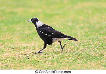 Australian Magpie (Cracticus tibicen) in Royal National...