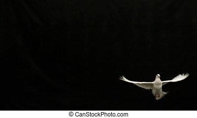 White dove of peace flying on black background in slow...