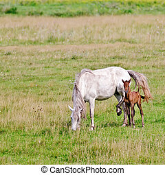 Horse white with bay foal on meadow