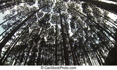 Pine Forest Loop - A wide angle view of a pine forest in a...