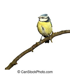 blue tit isolated on white - blue tit parus caeruleus...