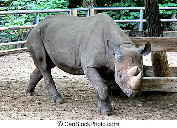 Black rhinoceros in the Berlin zoo