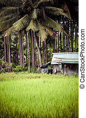 Landscape of rice field with green palm
