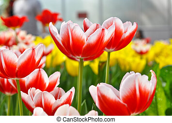 Colorful tulips - Beauty colorful tulips on the tulips...