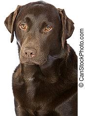 Proud Chocolate Labrador - Portrait Shot of a Proud...