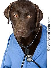 Dr Labrador - Doctor Labrador