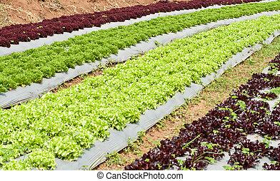 Lettuce field.