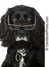 Intelligent Looking Cocker Spaniel with Glasses - Shot of an...