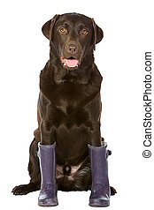 Chocolate Labrador in Purple Wellington Boots - Shot of a...