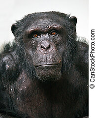 Chimpanzee - A portrait of a male senior chimpanzee