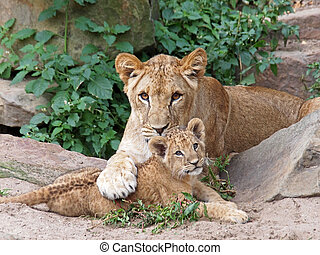 Lions - Two young lions playing with each other