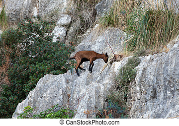the wild Mallorcan goat in Sa Calobra bay in Majorca Spain