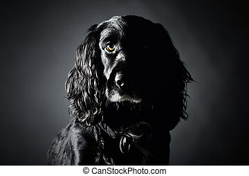 Handsome Cocker Spaniel Against a Grey Background