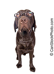 Clever Looking Labrador with Glasses