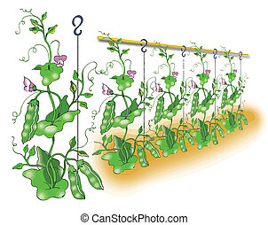 Green pea planting illustration