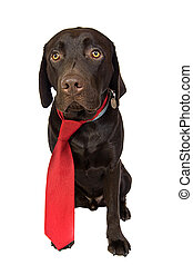 Chocolate Labrador in Red Tie