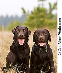 Chocolate Labrador Brothers in the Countryside