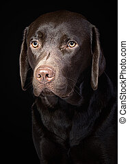 Cute Chocolate Labrador Retriever