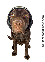 Cute Chocolate Labrador Puppy with Headphones