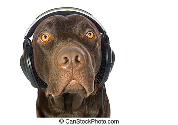 Cute Chocolate Labrador Puppy with Headphones - Cute...