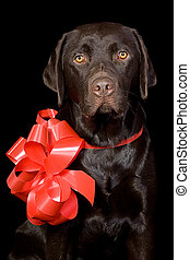 Gift Wrapped Chocolate Labrador