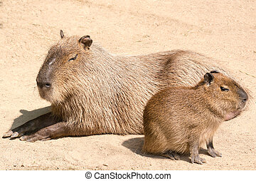 Capybara is a semi-aquatic mammal found throughout almost all countries of South America