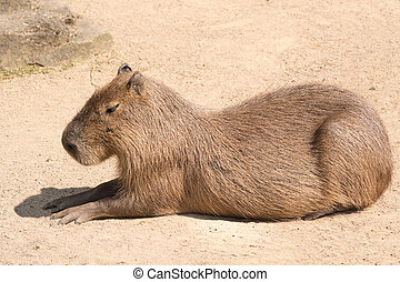 Capybara is a semi-aquatic mammal found throughout almost...