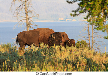 Buffalos Bisons in high grass in Yellowstone National Park,...