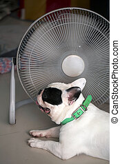 Hot dog - French bull dog in front of electric fan