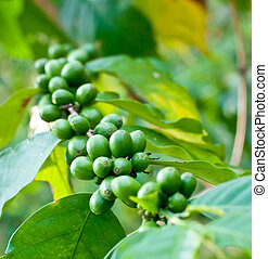 Unripe coffee beans . - Unripe coffee beans on coffee tree.