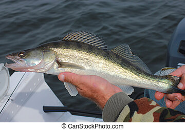 Fish Walleye in the hands of the fisherman - Walleye fish...