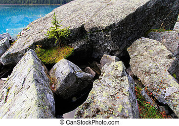 Small pine tree growing on rocks, Lake O'Hara, Yoho National...