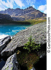Small pine tree growing on rocks, Lake OHara, Yoho National...