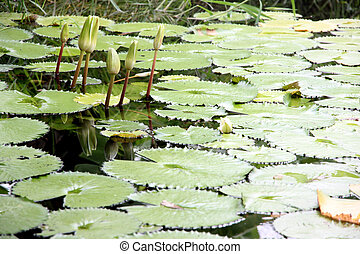 Lotus not bloom in the pond. - The Lotus not bloom in the...
