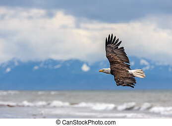 American Bald Eagle at Alaska - American Bald Eagle at...